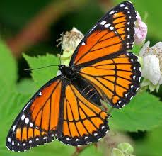 Butterfly (striped tiger).jpg