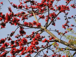silk cotton tree.jpg